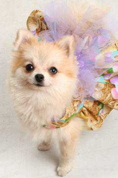 Pomeranian in a tutu! She looks like my Fifi ❤