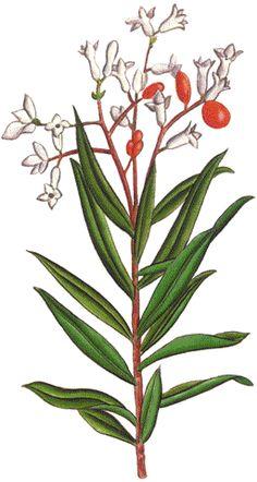 Daphne gnidium (Torvisco)