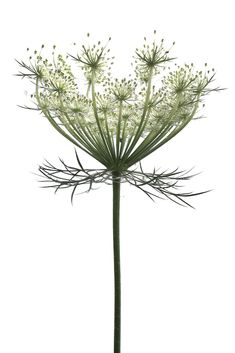 queen anne's lace Botanical Flowers, Botanical Art, Botanical Illustration, Carrot Flowers, Meadow Garden, Plant Tattoo, Garden Drawing, Queen Annes Lace, Garden Types