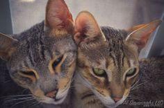 Savannah Cat & African Serval Price & Cost   A1 Savannahs  **WANT**