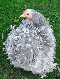 "Pekin Bantams come in many different colors (Lavender, blue, silver partridge, red partridge, blue mottled, Columbian, cuckoo, mottled, buff, black, white and wheaten). They have a lot of feathers making them look larger than they are, their legs and feet are covered in feathers. They also come in ""Frizzle"" with curly feathers. They are good pets for children, they can become very tame and friendly. They are good layers of small eggs but can become broody (they make good mums). Pekins can…"