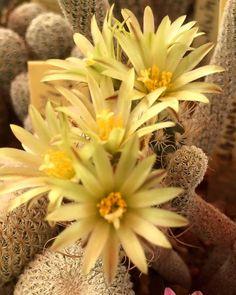 Turbinicarpus kainzianus v. minimus