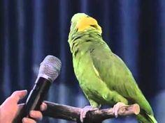 Unbelievable Singing #Amazon #Parrot