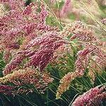 Melinis nerviglumis Savannah - ornamental grass