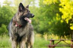The Shiloh Shepherd is a cross between a purebred German Shepherd and Alaskan Malamute. These dogs are protective, loyal, and loving. Shiloh Shepherd, Shepherd Dog, Designer Dogs Breeds, Dog Breeds Pictures, Alaskan Malamute, Family Dogs, Working Dogs, Dog Design