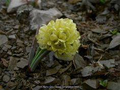 Alpine Plants, Allium, Beijing, Garden, Flowers, Garten, Lawn And Garden, Gardens, Gardening