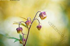 Ojakellukka - ojakellukka niittykellukka Geum rivale kasvi kukka kesä lämmin…