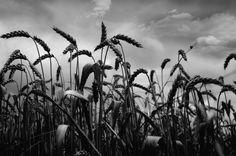 Wheat..