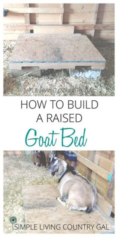 to build a raised goat bed on the cheap! A raised goat bed doesn't need to be fancy and this one definitely isn't. But it is cheap! via raised goat bed doesn't need to be fancy and this one definitely isn't. But it is cheap! Keeping Goats, Raising Goats, Goat Playground, Goat Shed, Fainting Goat, Goat Shelter, Animal Shelter, Goat Care, Boer Goats