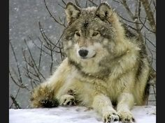 Google Image Result for http://www.wallpaperhere.com/view/20110624/Wolf_in_Snow_1024x768_1288849743gPhydhx.jpg