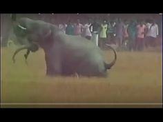 Elephant attack people, elephant attack animals