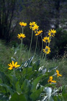 Arrowleaf Balsamroot Flowers Print By Michael Russell. Simmered in oil, makes a great rub for aching muscles, similar to arnica.