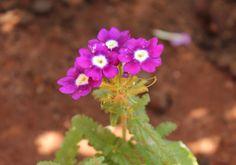 Mor Mine Çiçeği / Purple Verbena  Photo By www.nesedentarifler.com