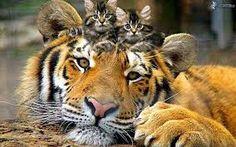 """Résultat de recherche d'images pour """"tigre"""""""