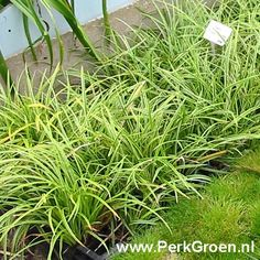 Carex morrowii 'Ice Dance' Japanse zegge (Japan) wintergroen