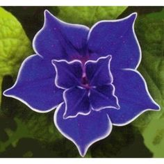 Morning Glory Seeds - Blue-Morning Glory (Ipomoea Nil Blue ) Very Rare !Morning Glory (Ipomoea Nil Blue Picotee) - The Japanese have cultivated this spectacular Blue Picotee Morning Glory vine. It grows readily from Morning Glory seeds and is very.