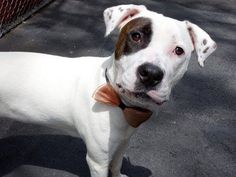 TO BE DESTROYED-SAT 5/17/14, Manhattan Center JADA - A0999339    FEMALE, WHITE / BLACK, PIT BULL MIX, 1 yr  STRAY -   05/10/2014 Beautifully groomed little girl, her coat as white as snow, her weight perfect for her size. Likely housetrained. Calm reaction to other dogs we see in the street.  Her tail wags happily, she comes when I call to her, she's happy for my company. Gentle and sweet, very affectionate. Jada has a winning personality, engaging and sweet; looking for her happily ever…