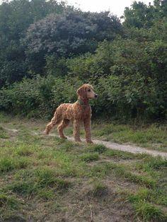 4 months old standard poodle Doortje