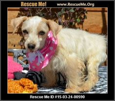 Animal ID: 031515-24Razzi (female)  Maltese Mix  Age: Adult  Compatibility:Good with Most Dogs, Good with Adults (Not Kids) Health:Spayed, Vaccinations Current  Please read! If you are interested in me, please visit my website, www.breederadoptions.org, read my Policies and Procedures, complete the Adoption Form, and my rescuers will contact you promptly. Hi! My name is Razzi and I am a little Morkie girl with the worst haircut in the world! I am 6 years old and I weigh 10 ...