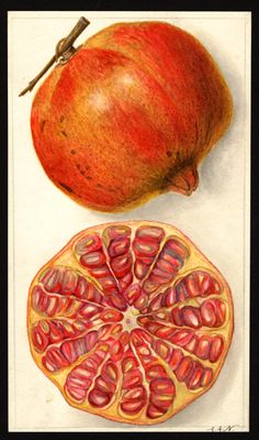 Vintage Botanical Fruit Painting of a Pomegranate. Beautiful old vintage Botanical Fruit painting of a cut Pomegranate from Would be perfect in a grouping with my other antique food paintings, perhaps to hang on your dining room walls. Vintage Botanical Prints, Botanical Drawings, Antique Prints, Botanical Art, Watercolor Fruit, Fruit Painting, Nature Illustration, Botanical Illustration, Art Floral