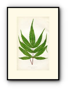 Edward Joseph Lowe Fern (Pteris Aspericaulis) Antique Botanical Print, 1859 Wood Block Engraving, Book Plate by TheOldMapShop on Etsy