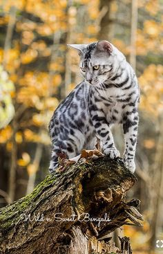 A silver and black Bengal cat. Beautiful.
