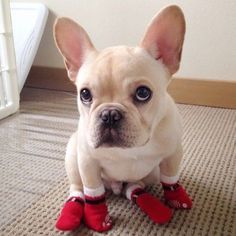 French Bulldog with footies