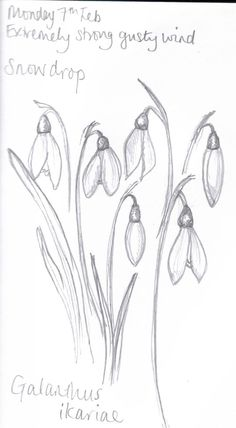how to draw snowdrops Botanical Drawings, Botanical Art, Botanical Illustration, Watercolor Illustration, Watercolor Flowers, Watercolor Paintings, Watercolours, Pencil Drawings, Art Drawings