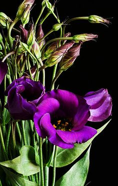 Les eustoma sont originaires des régions chaudes et humides du sud des États-Unis, du Mexique, des Antilles et du nord de l'Amérique du Sud. On les trouve essentiellement dans les prairies et les terrains vagues (plante rudérale). Ce sont des plantes annuelles, herbacées, pouvant atteindre 60 cm de hauteur, à feuilles grasses d'un vert bleuté et à grandes fleurs disposées le long de la tige. Eustoma russellianum peut remplacer la rose.