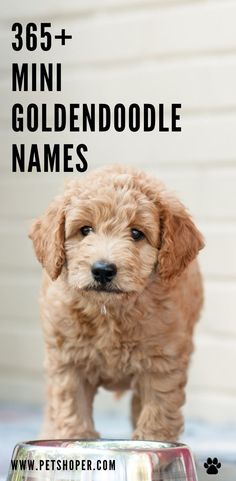 What should I name my Goldendoodle? Find great names for mini Goldendoodle like Monty🐾Cody 🐾 Shiro🐾 Shadow🐾 Coco🐾 Finn🐾Teddy🐾Ginger 🐾 #MiniGoldendoodleNames #GoldendoodleNames #DogNames Girl Dog Names, Puppy Names, Pet Names, Cool Female Dog Names, Best Dog Names, Goldendoodle Names, Mini Goldendoodle Puppies, Best Dog Breeds, Best Dogs