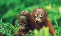 Orangutans in Bukit Lawang, North Sumatra - National Geographic. Jungle trek & see orang utans!