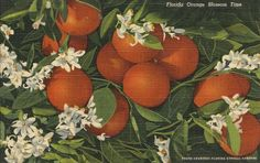 """Undated Used Postcard Florida Orange Blossom Time FL """" Old Florida, Vintage Florida, Cypress Gardens Florida, Orange Wedding Themes, Florida Images, Orange Aesthetic, Down South, Old Postcards, Happy Colors"""