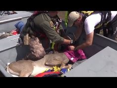 Buck Was Submerged In 6 Feet Of Water, So Rescuers Grabed His Antlers To Bring Him To Dry Land