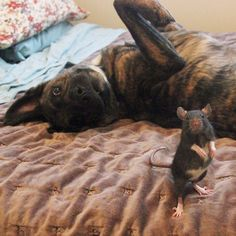 A gentle therapy #dog named Osiris and adorable rescue #rat called Riff Ratt have become unlikely best friends.