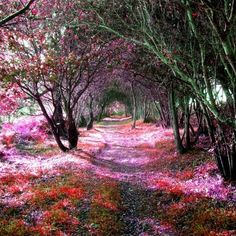 Blossoming Trees create a magical walkway of Pink Petals!