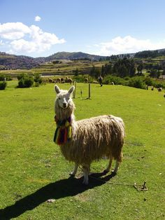 """129. Alpaca at Cusco Peru. Catherine Ryan Hyde is the bestselling author of over 30 books that have inspired people worldwide. Catherine has compiled a year's worth of her original beautiful photos to accompany her favorite awe-inspiring and life-affirming moments. Please enjoy the journey of """"365 DAYS OF GRATITUDE."""" http://aha.pub/Gratitude-AhaBook. To learn more about Catherine Ryan Hyde you can go to: http://www.catherineryanhyde.com/ http://www.amazon.com/Catherine-Ryan-Hyde/e/B001ITTR60"""