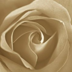 Rose Sepia 5x5 Fine Art Photography Print