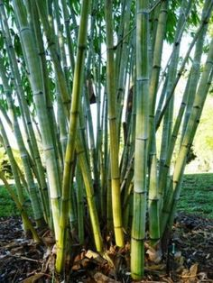 Angel Mist Bamboo is an absolutely stunning blue landscape bamboo plant. The clump is remarkably well behaved and can be pruned to fit different applications Giant Bamboo, Bamboo In Pots, Bamboo Hedge, Clumping Bamboo, Bamboo Crafts, Angel Pictures, Garden Guide, Plants Online, Tropical Leaves