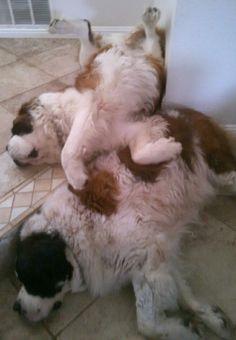 Pile of lazy dogs! My St. Bernards