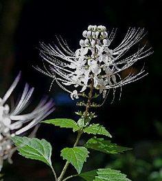 L'orthosiphon : une plante drainante : Plante médicinale souvent commercialisée sous forme de tisane, de capsules ou de gélules, l'orthosiphon est employé en phytothérapie pour ses propriétés diurétiques et drainantes.