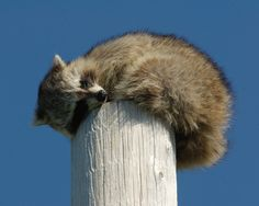 34 Raccoons That Love Falling Asleep - Reminds me of my cat sleeping on top of her scratching post. lol