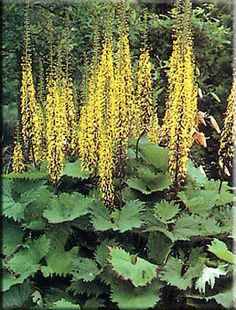 Ligularia: Really, really want this for my garden...