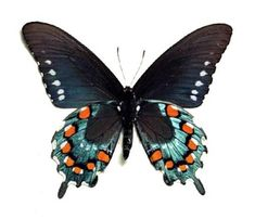 Blue Butterfly Discover ONE real butterfly blue Battus philenor pipevine swallowtail verso Dog Papillon, Tattoo Papillon, Papillon Butterfly, Orange Butterfly, Butterfly Gifts, Butterfly Frame, Butterfly Cutout, Butterfly Jewelry, Monarch Butterfly