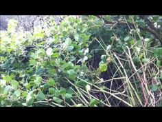 Watch and find out how to identify Japanese knotweed in the Summer.    http://www.wiseknotweed.com/japanese-knotweed-information/identifying-japanese-knotweed/identify-japanese-knotweed-summer/