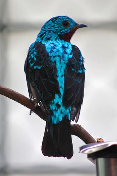 "Spangled cotinga: ""Cotingas are only found in the American tropics. These arboreal species vary greatly in size, and many species make their home in the High Andes"