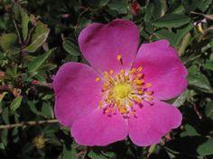 Rosa woodsii (Woods' rose)