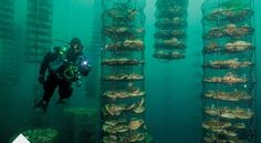 """Commercial fisherman, Bren Smith, invented a way to grow large amounts of food vertically under the surface of the ocean. Better yet, he's open sourced all the plans and offered them to people around the world to implement and improve upon.  The farms harvest mussels, scallops, oysters, clams, seaweed and salt. Smith points out that the setup soaks up nitrogen and 5 times the carbon dioxide of land-based plants, referring to it as a """"climate mitigator."""" This process transforms the fish..."""