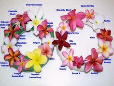 Plumeria, also known as Frangipani