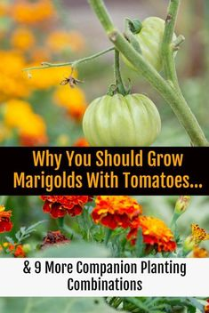 Growing marigolds (and some of these nine other plants) with your tomatoes will ensure a bountiful, tasty harvest free of pests and disease. ideas 10 Tomato Companion Plants To Get The Most Delicious Tomatoes This Year Perennial Vegetables, Growing Vegetables, Gardening Vegetables, Organic Gardening, Gardening Tips, Container Gardening, Indoor Gardening, Gardening Zones, Gardening