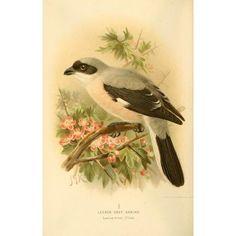 Birds of the British Islands 1885 Shrike Lesser Grey Canvas Art - John G Keulemans (18 x 24)